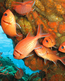 Dominica Soldierfish